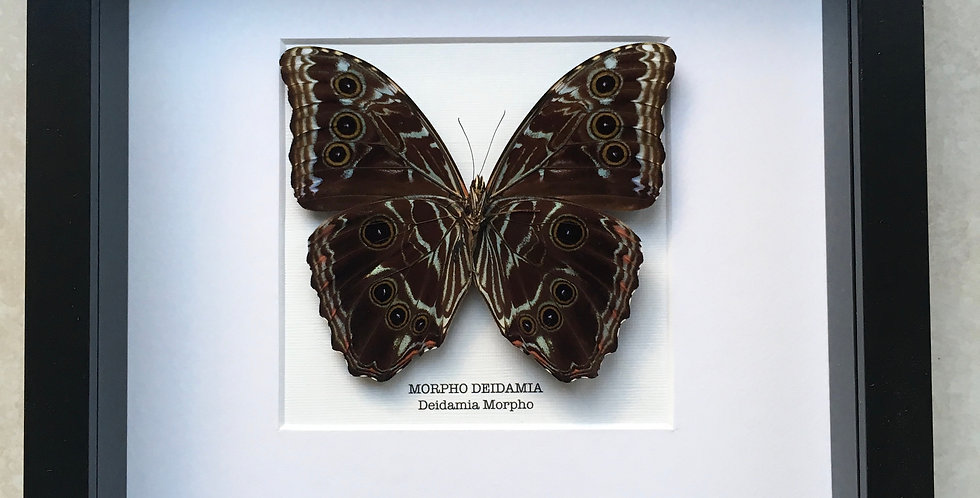 Deidamia Morpho (underside) Butterfly Frame
