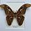 Thumbnail: Atlas Moth Frame