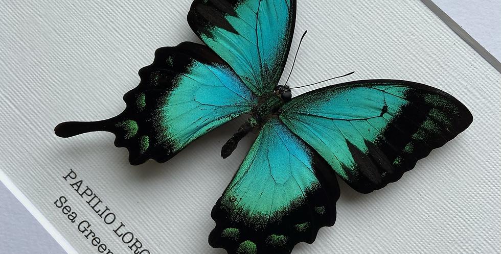 Sea Green Swallowtail Butterfly Frame