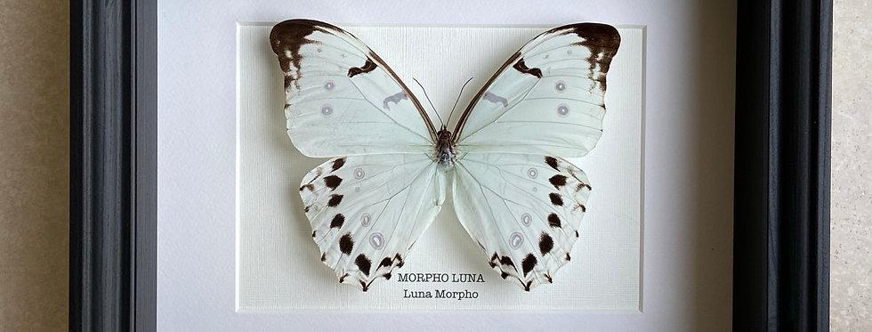 Luna Morpho Butterfly Frame