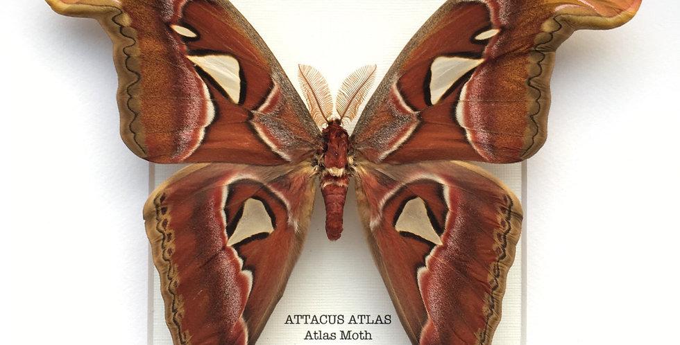 Atlas Moth Frame