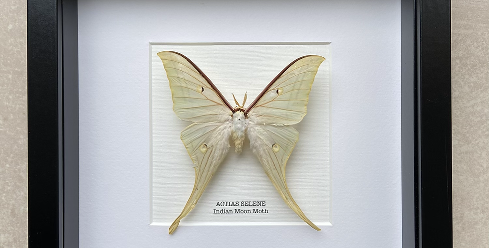 Indian Moon Moth Frame