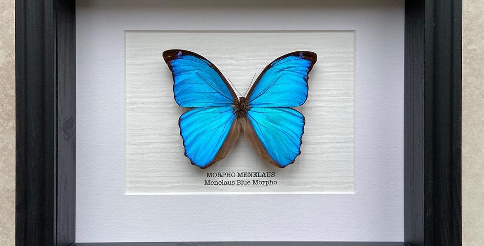 Menelaus Morpho Butterfly Frame