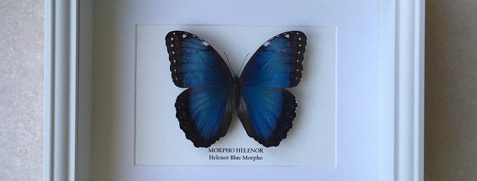 Helenor Blue Morpho Butterfly Frame