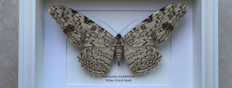White Witch Moth Frame