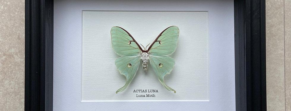 Luna Moth Frame