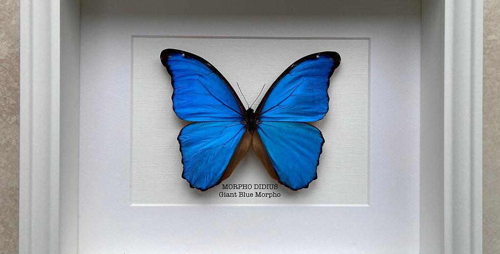 Giant Blue Morpho Butterfly Frame