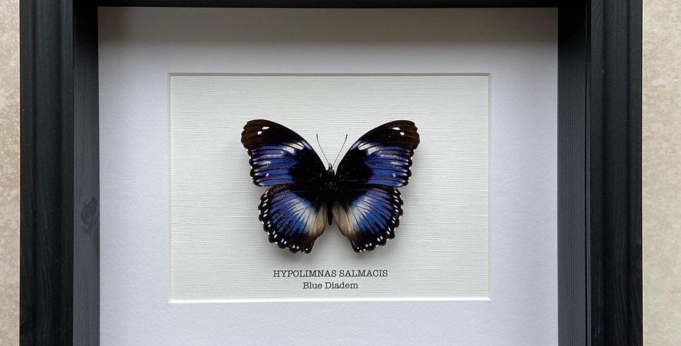 Madagascar Diadem Butterfly Frame