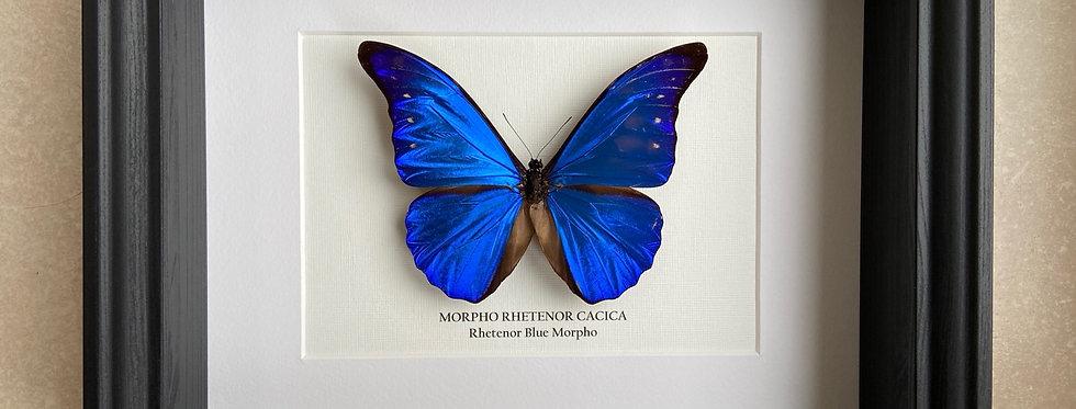 Blue Rhetenor Morpho Butterfly Frame