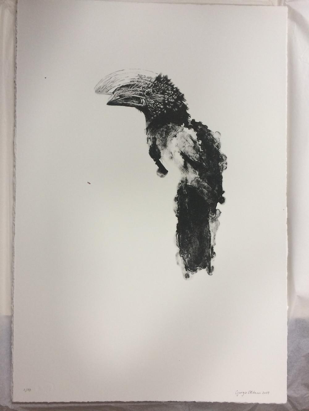 Bucero dalle Guance Argentate, 2017 litografia a un colore; firmata e numerata, cm 52 x 35, edizione limitata a 10 esemplari