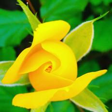 rosa en groc.jpg