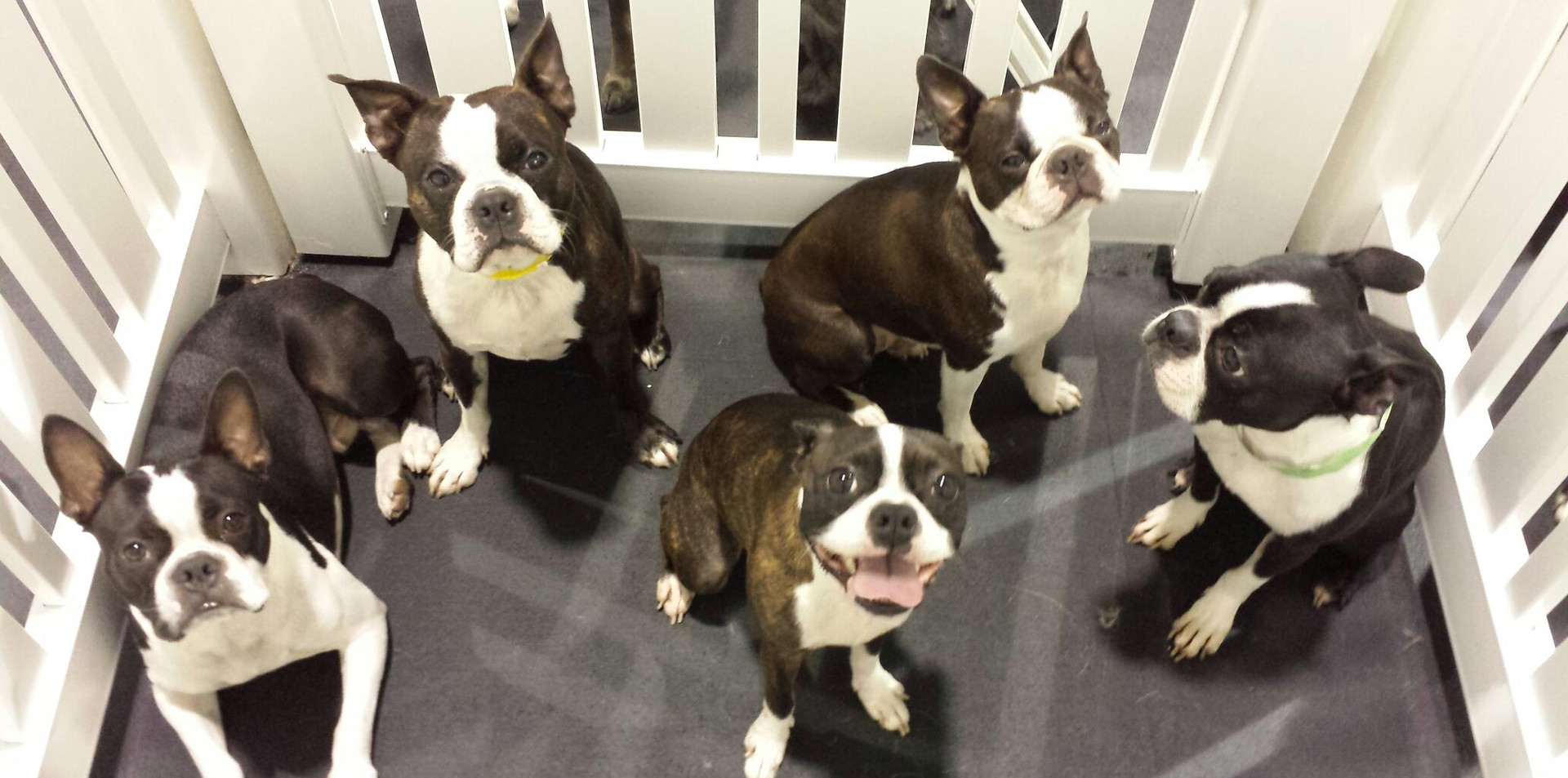 Boston Terrier Day!