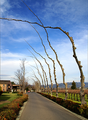 Peju Vineyard Trees