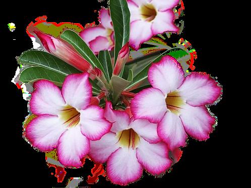 Семена Адениума (смесь микс)