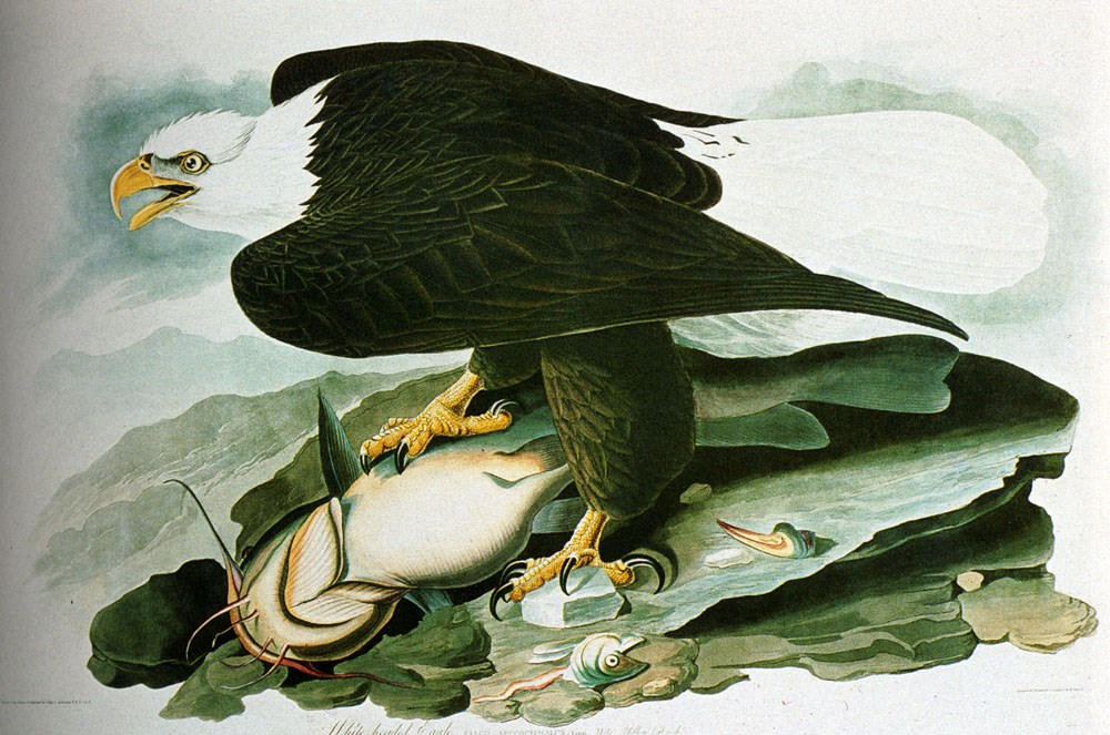 The Bald­Headed Eagle From Birds Of