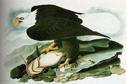 The BaldHeaded Eagle From Birds Of