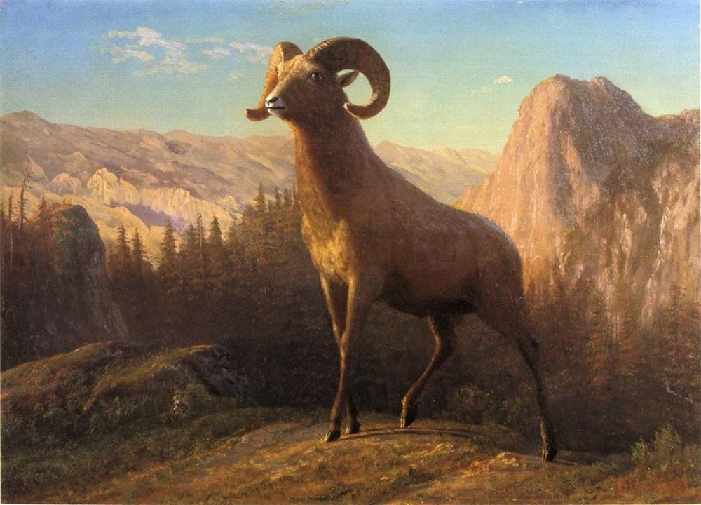 A Rocky Mountain Sheep, Ovis, Montan