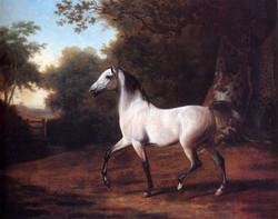 A Grey Arab Stallion In A Wooded Lan