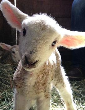 lamb_edited.jpg