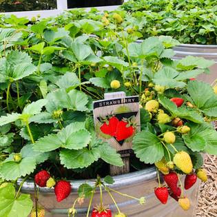 fhstrawberries.jpg