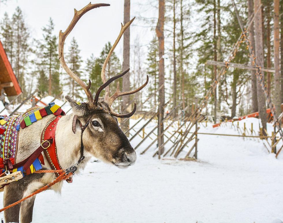 Reindeer%20in%20Lapland_edited.jpg