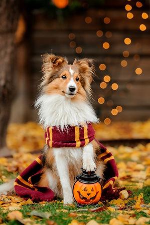 Dog in Halloween with pumpkin. Autumn  Hollidays and celebration..jpg