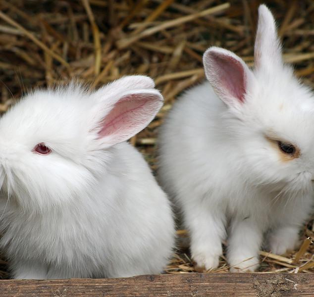 bigstock_Baby_Rabbits_2056992.jpg