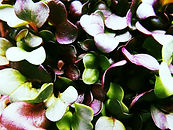 cabbage microgreen.jpg