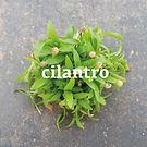 Cilantro cut.jpg