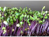 purple kohlrabi microgreens.jpg