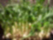 yellow-pea-shoots.jpg
