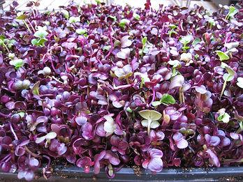 purple radish micro.JPG