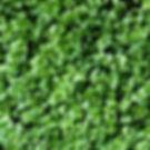 Lemon Basil Microgreens.jpg