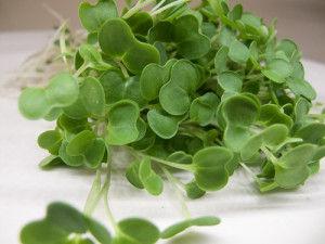 Kale Micro Greens.jpg