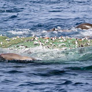 tuna chumming