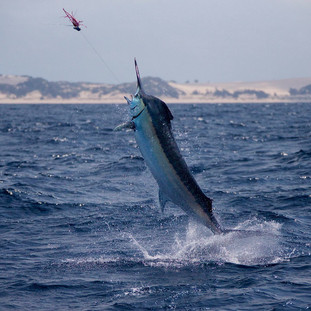 marlin fishing cape town