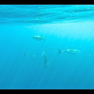 yellowfin tuna underwater