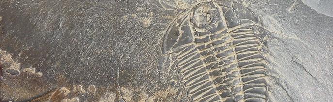 Mt Stephen trilobite fossil