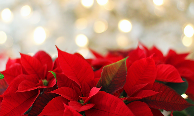 poinsettia-3024434_edited.png