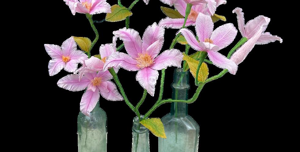 Pink Paper Clematis