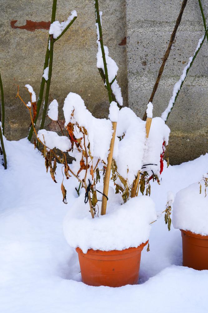 Paprika mit Schnee