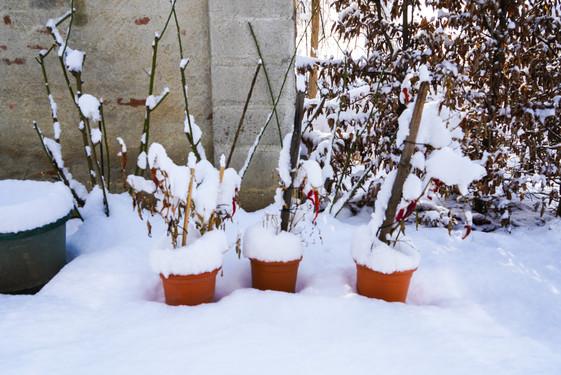 Chilischoten im Schnee