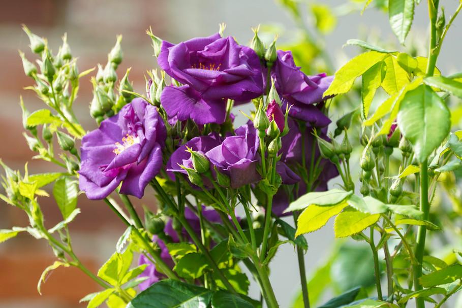 Rhapsody in Blue - Strauchrose im Landhausgarten
