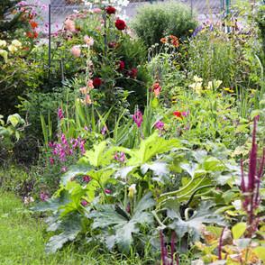 Bauerngarten mit Stockrosen