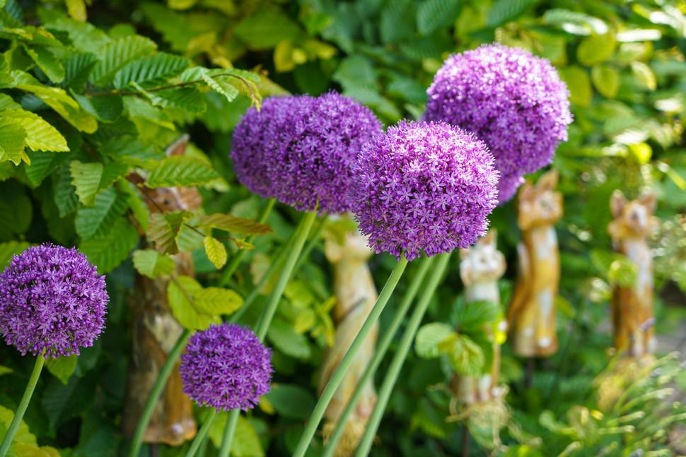Alliumblüten und Keramik-Katzen im Garten