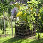 Sonnenblumen beim Kompost