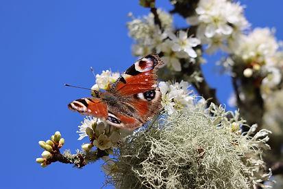 Peacock_butterfly.jpeg