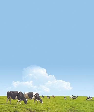 Cows Tall.jpg