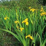 Iriss.jpg