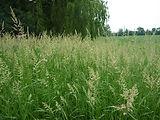 Reed Canary Grass.jpg